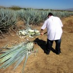 ...cut down the agave plants...