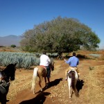 Riding out through a sea of blue Agave