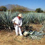 A Jimador shaving the Agave down to the Pina